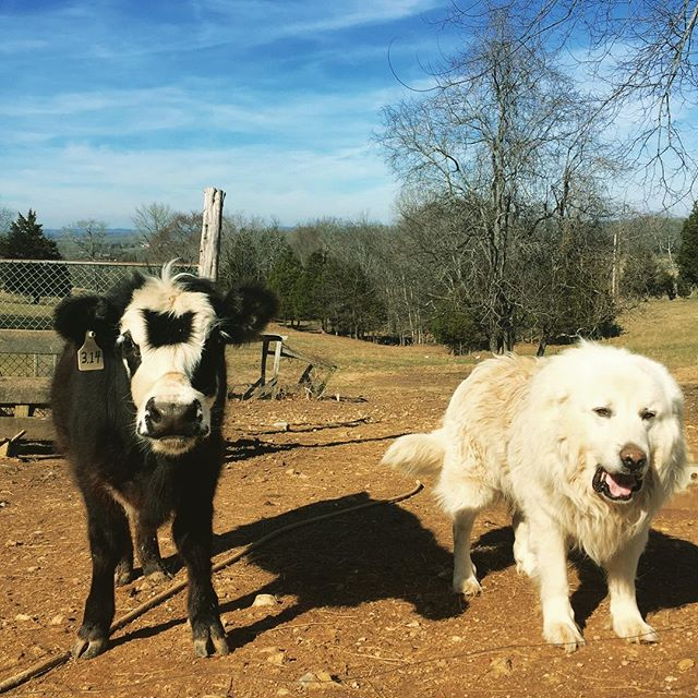 The one on the left is a cow named Pi, because she was born last year on 3/14/15 ... The one on the right is Falkor, the Luck Dragon. #neverendingstory #falkor #math #pi #farmlife #tennessee