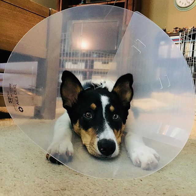 Post-Op Cone of Shame. #neuteryourpets